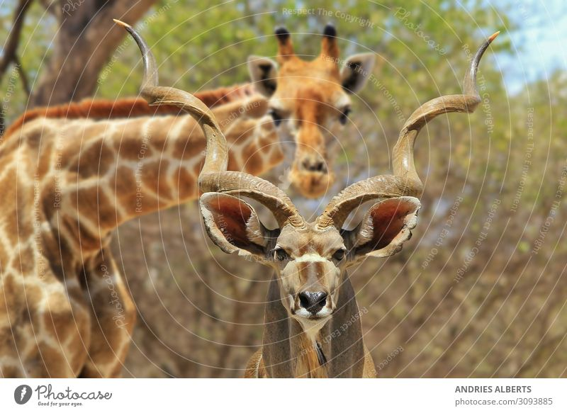 Kudu Stier und Giraffe - Fotobomben Natur Ferien & Urlaub & Reisen Tourismus Abenteuer Freiheit Sightseeing Safari Expedition Sommerurlaub Sonne Umwelt Tier