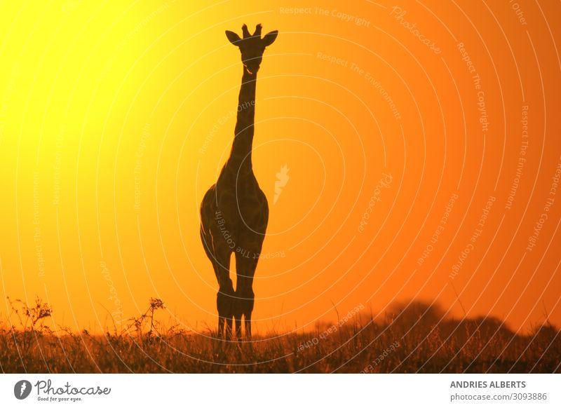 Giraffe Silhouette - Simplistisches Gold Ferien & Urlaub & Reisen Tourismus Abenteuer Freiheit Sightseeing Umwelt Natur Landschaft Tier Urelemente Erde Himmel