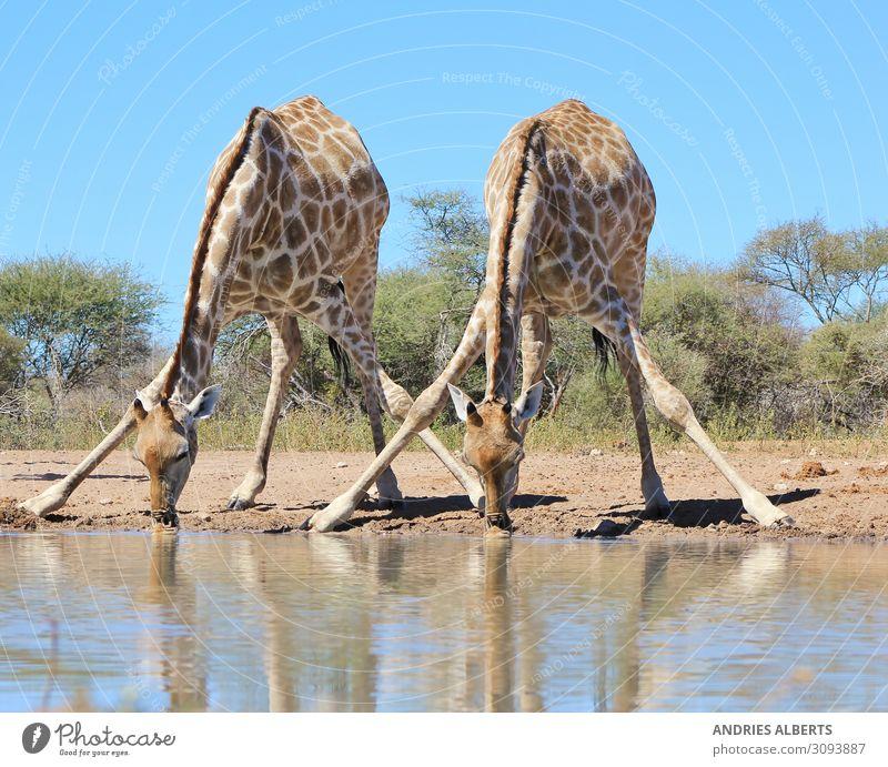 Giraffe - Spaltung für Schlucke Ferien & Urlaub & Reisen Tourismus Ausflug Abenteuer Sightseeing Safari Umwelt Natur Tier Wasser Sonnenlicht Sommer Park