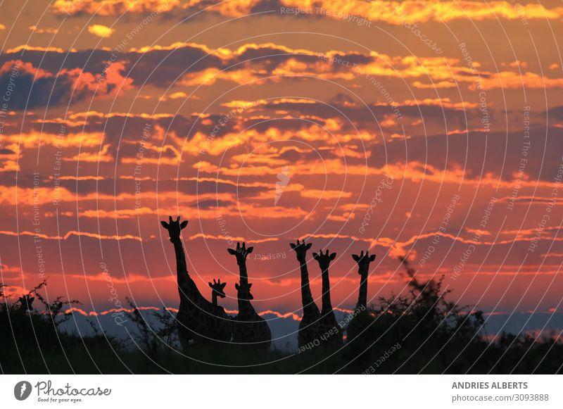 Giraffe - Magischer Himmel von Afrika Umwelt Natur Landschaft Tier Urelemente Erde Wolken Sonnenaufgang Sonnenuntergang Sonnenlicht Sommer Schönes Wetter