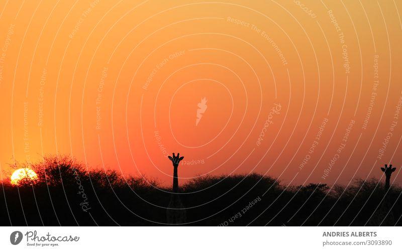 Giraffen-Silhouette - Afrikanische Tierwelt Ferien & Urlaub & Reisen Tourismus Abenteuer Ferne Freiheit Sightseeing Safari Expedition Sommerurlaub Umwelt Natur