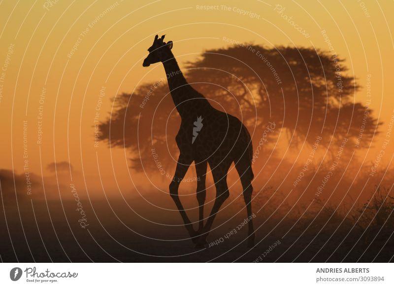 Giraffe Grace - Spaziergang durch verblasstes Gold Ferien & Urlaub & Reisen Tourismus Ausflug Abenteuer Freiheit Sightseeing Safari Umwelt Natur Tier