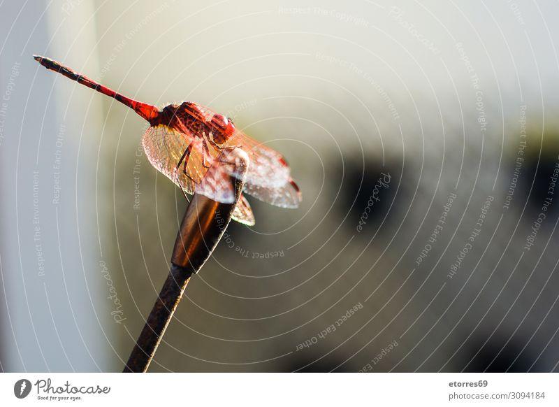Makro-Libellentier. Kopierbereich. Tier Insekt Makroaufnahme rot Farbe Hintergrund neutral Sommer Flügel Nahaufnahme Fauna