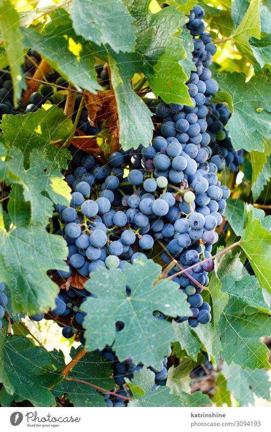 Lila Trauben auf einer Pflanze Frucht Landschaft grün violett Weintrauben Ernte Vendemmie violette Traube fallen Ackerbau Lebensmittel reif Italien Süditalien