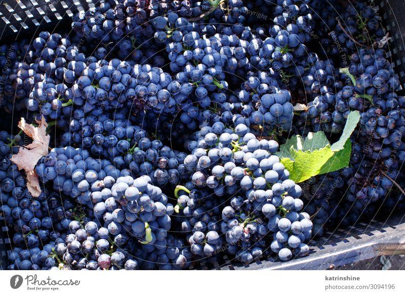 Vendemmia - Weinlese in einem Weinberg Frucht Arbeit & Erwerbstätigkeit Landschaft Fahrzeug hell violett Weintrauben Ernte Vendemmie fallen Ackerbau