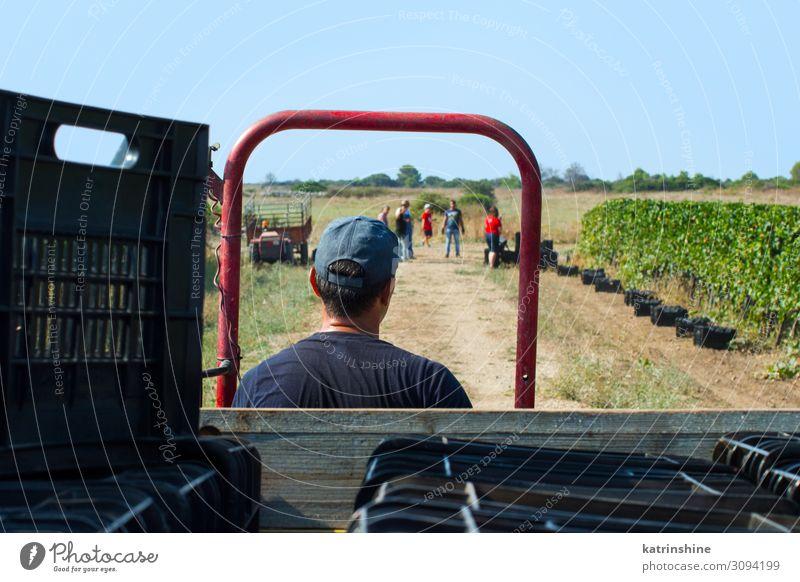 Arbeiter während der Vendemmia - Weinlese in einem Weinberg Frucht Arbeit & Erwerbstätigkeit Mann Erwachsene Landschaft Fahrzeug Traktor fahren Weintrauben