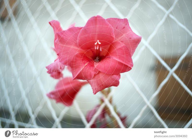 blümchen Pflanze Blume Rose Blüte Blühend rot rosa Zaun Wachstum Außenaufnahme Dämmerung