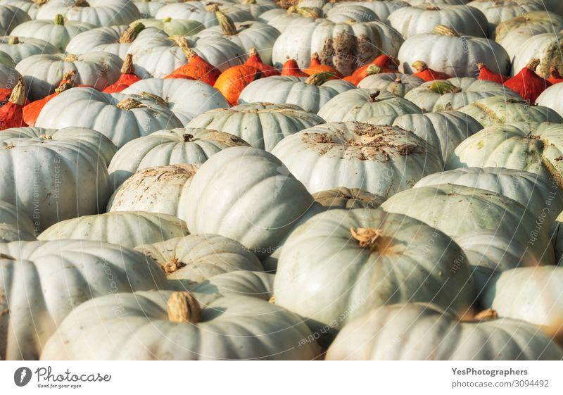 Weiße Kürbisse stapeln sich auf dem Markt. Erntezeitkonzept Gemüse Ernährung Vegetarische Ernährung Dekoration & Verzierung Gartenarbeit Natur Herbst