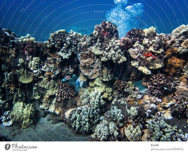 Taucher erscheint durch eine mit Korallen bewachsene Wand. Freude Leben Ferien & Urlaub & Reisen Abenteuer Meer tauchen Natur Landschaft entdecken