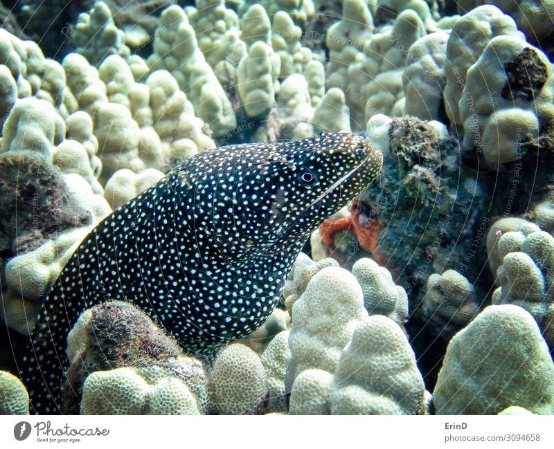 Whitemouth Moray Aal aus der Nähe unter Wasser Leben Ferien & Urlaub & Reisen Meer tauchen Schule Natur Urwald entdecken außergewöhnlich Coolness frisch