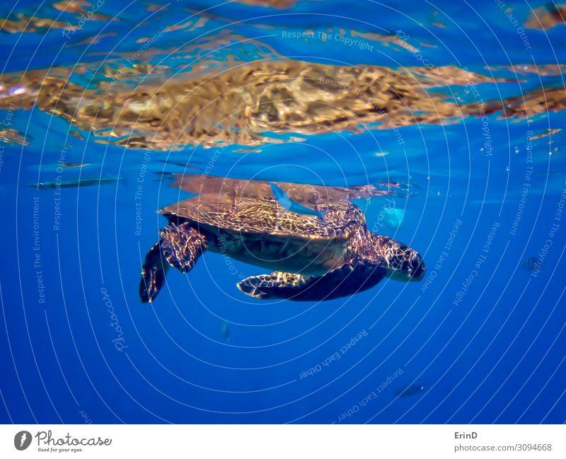 Grüne Meeresschildkröte mit blauem Nadelfisch unter Wasser Freude Leben Ferien & Urlaub & Reisen Abenteuer tauchen Natur Landschaft Urwald entdecken