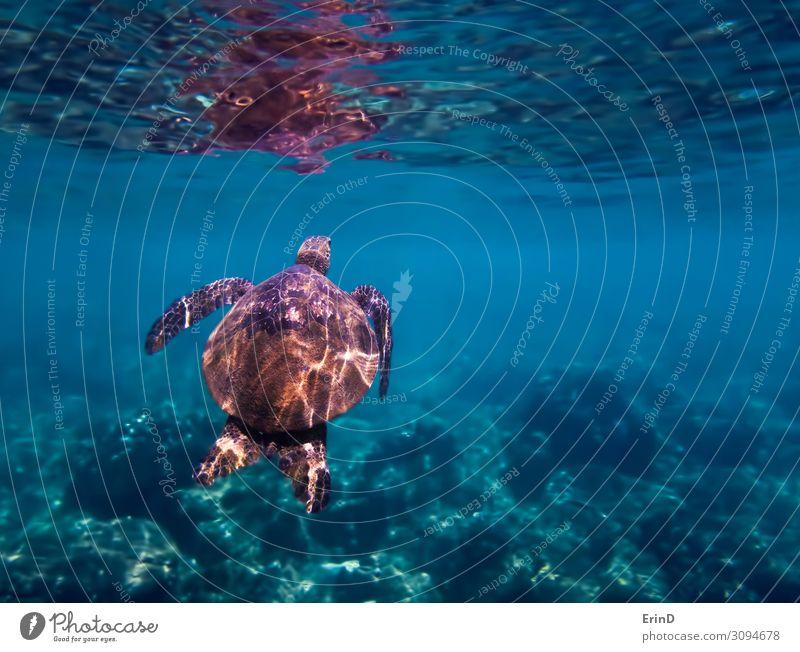 Grüne Meeresschildkröte schwimmt zur Oberfläche unter Wasser. Freude Leben Ferien & Urlaub & Reisen Abenteuer tauchen Natur Landschaft Urwald entdecken