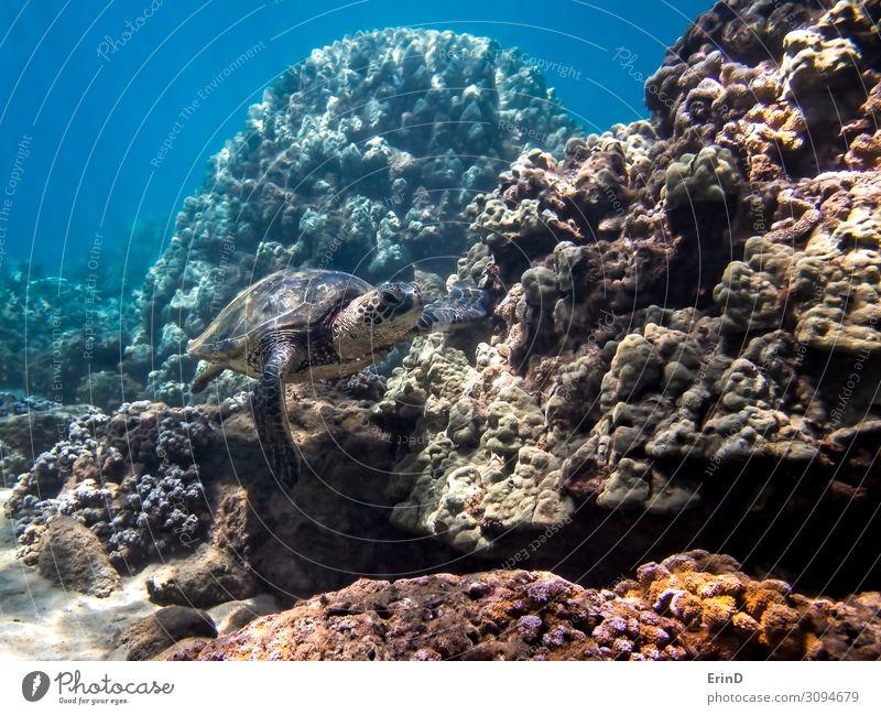 Grüne Meeresschildkröte schwimmt entlang der Koralle in Hawaii Seascape Freude Leben Ferien & Urlaub & Reisen Abenteuer tauchen Natur Landschaft Urwald