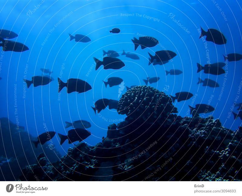 Schule der schwarzen Fischsilhouette mit einem Korallenkopf in Dunkelblau Leben Ferien & Urlaub & Reisen Meer tauchen Natur außergewöhnlich Coolness frisch