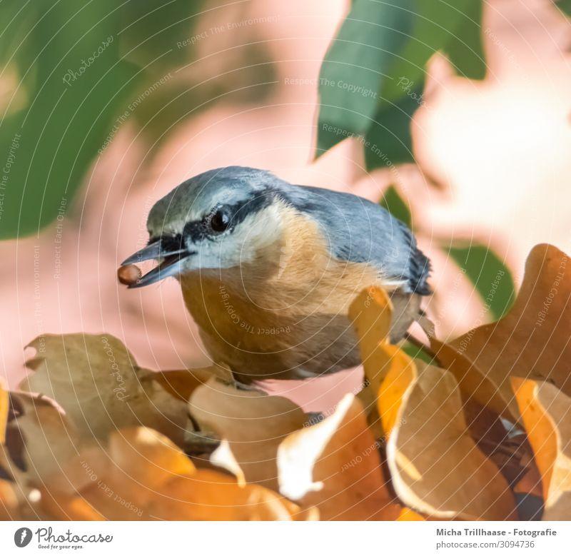 Kleiber mit Korn im Schnabel Natur Tier Sonne Sonnenlicht Schönes Wetter Pflanze Baum Blatt Wildtier Vogel Tiergesicht Flügel Auge Kopf Feder gefiedert 1