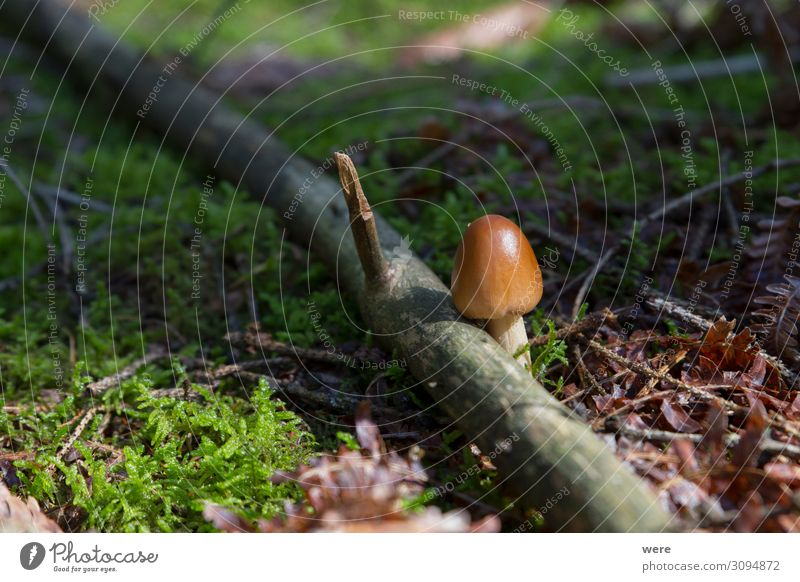 Mushrooms at their natural location in the forest Natur klein braun Capreolus capreolus Eating out of the forest copy space dangerous delicacy eating food