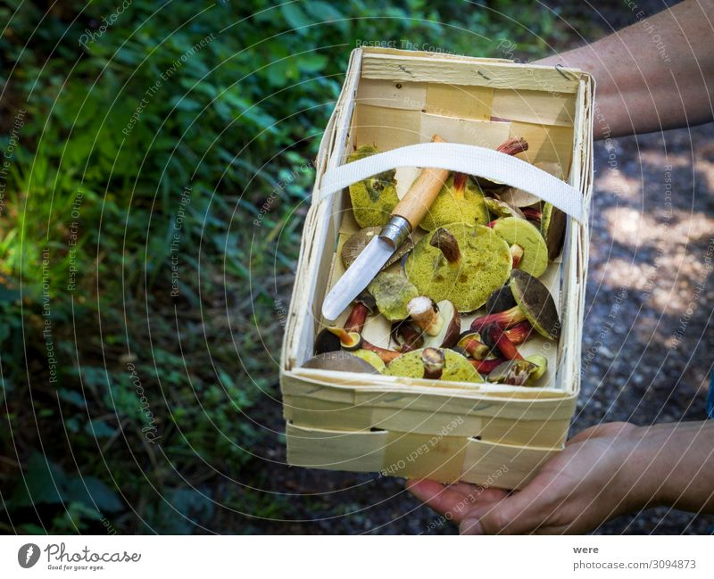 Wooden basket with mushrooms kept by 2 hands Lebensmittel Ernährung Hand Natur wild Capreolus capreolus Eating out of the forest Mushrooms copy space dangerous