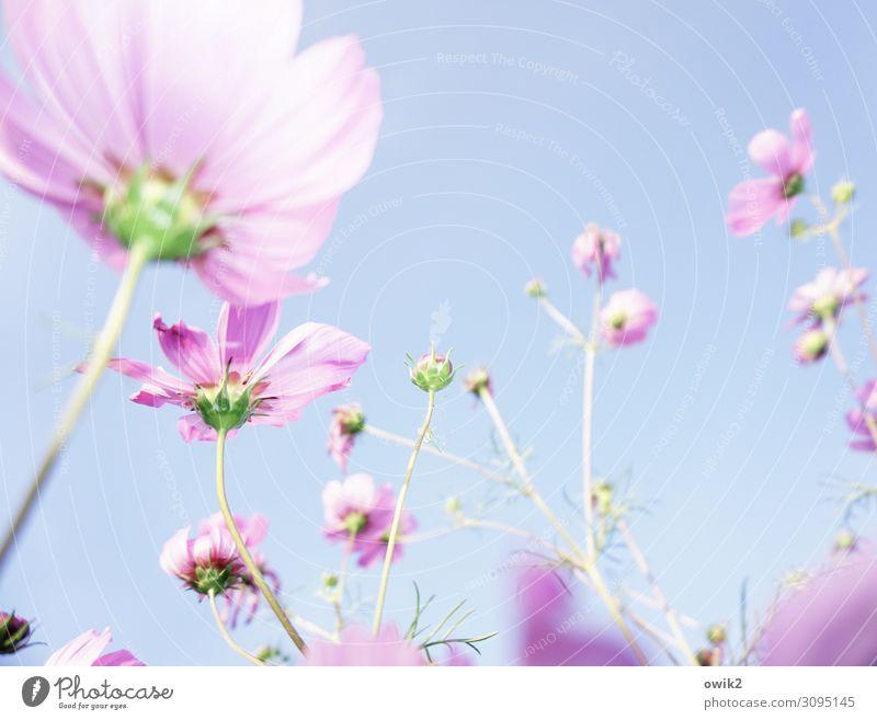 Der Sonne entgegen Umwelt Natur Pflanze Wolkenloser Himmel Sommer Schönes Wetter Wärme Blume Blüte Blütenblatt Schmuckkörbchen atmen Bewegung Blühend leuchten