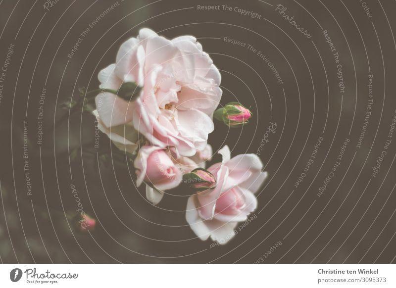 rosa Rosenblüten vor dunklem Hintergrund Natur Pflanze Sommer Blume ästhetisch Duft elegant schön natürlich Gefühle Lebensfreude Romantik trösten dankbar