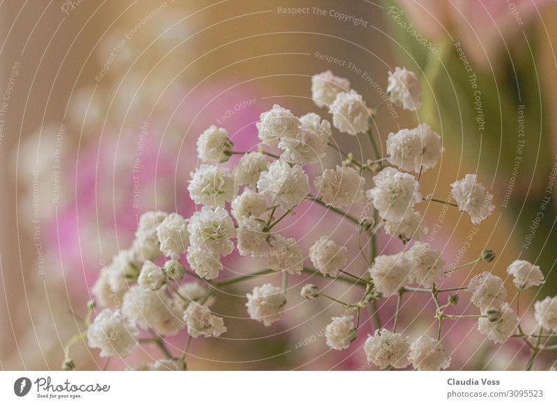 Schleierkraut verträumt Pflanze Blume Gras Blüte frisch natürlich schön Lebensfreude Frühlingsgefühle Romantik Trauer Sehnsucht Leichtigkeit Natur träumen
