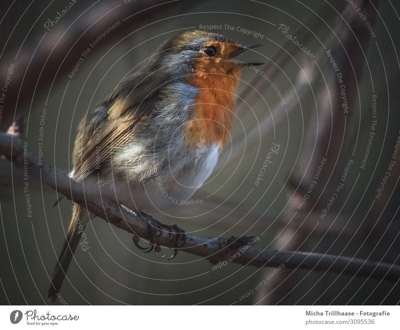 Singendes Rotkehlchen in der Dämmerung Natur Tier Sonne Sonnenlicht Schönes Wetter Baum Zweige u. Äste Wildtier Vogel Tiergesicht Flügel Krallen Schnabel Auge