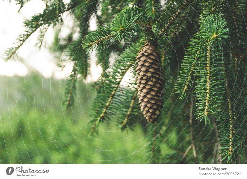 Fichtenzapfen Natur Sommer Pflanze schön grün Baum Wald Umwelt Traurigkeit Regen träumen Wachstum Kraft Vergänglichkeit Hoffnung Grünpflanze