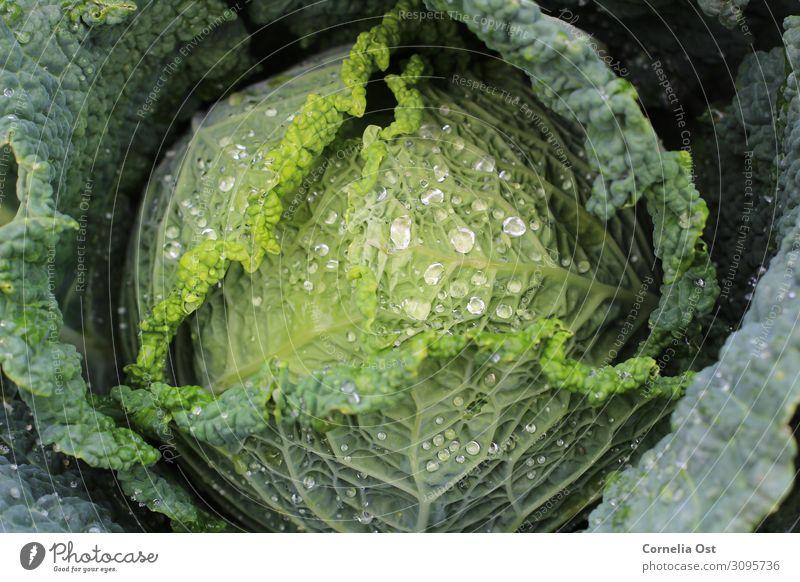 Knackig frisch Lebensmittel Gemüse Ernährung Essen Mittagessen Bioprodukte Vegetarische Ernährung Wirsing Kohl Gesunde Ernährung Natur Wassertropfen Feldfrüchte