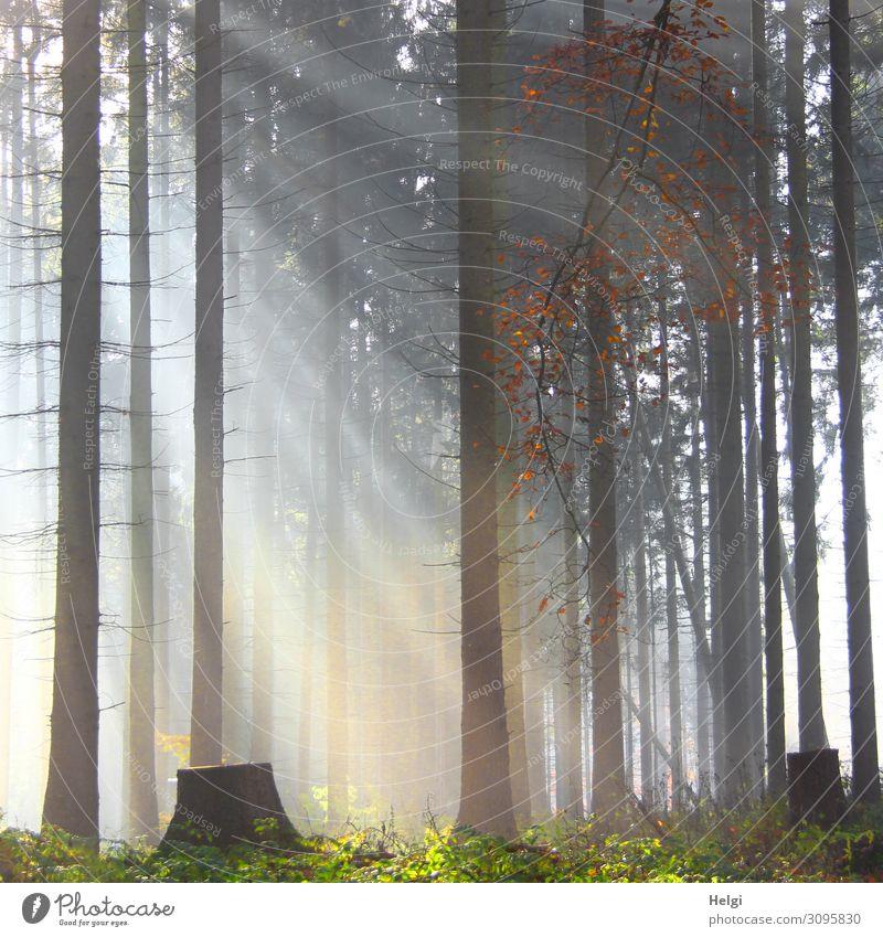Lichteinfall zwischen Bäumen im Wald bei leichtem Nebel Umwelt Natur Landschaft Pflanze Herbst Baum Fichte Baumstamm leuchten stehen Wachstum außergewöhnlich