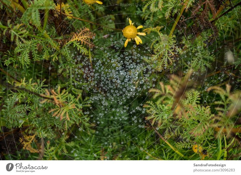 Spider web in the garden with rain drops Garten Natur Pflanze Park Wald Urwald Blühend grün spider green water Feldrand Hintergrundbild natural dew cobweb wet