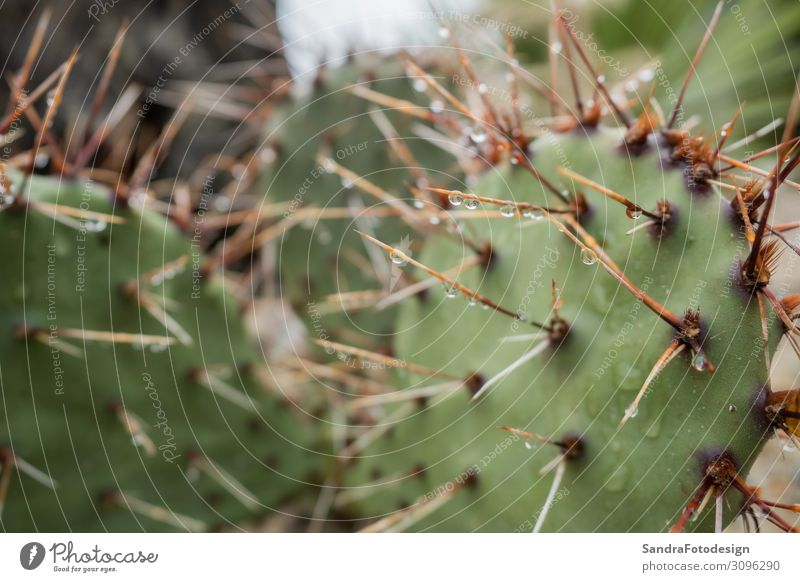Spines of the cactus with rain drops Sommer Natur stachelig planen Feldrand pattern green sharp succulent Hintergrundbild water color needle Torun garden desert