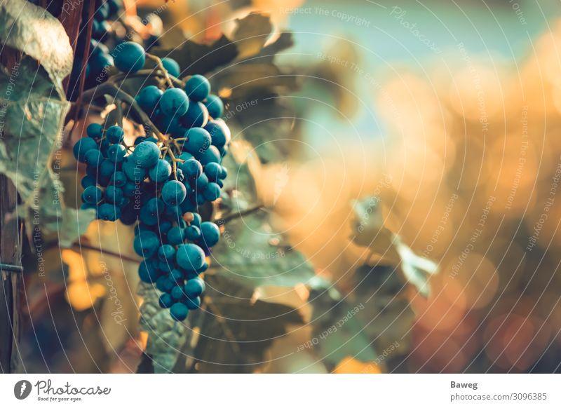 Reife Rotweintrauben bei Sonnenuntergang Wein Sommer Landwirtschaft Forstwirtschaft Gastronomie Pflanze Blatt genießen frisch hell rot Kultur Burgunder Italien