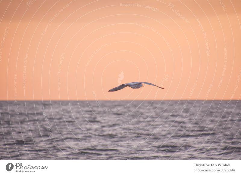 Möwe fliegt in der Dämmerung über das Meer Umwelt Natur Luft Wasser Himmel Horizont Sonnenaufgang Sonnenuntergang Wellen Nordsee Wildtier Vogel Flügel 1 Tier