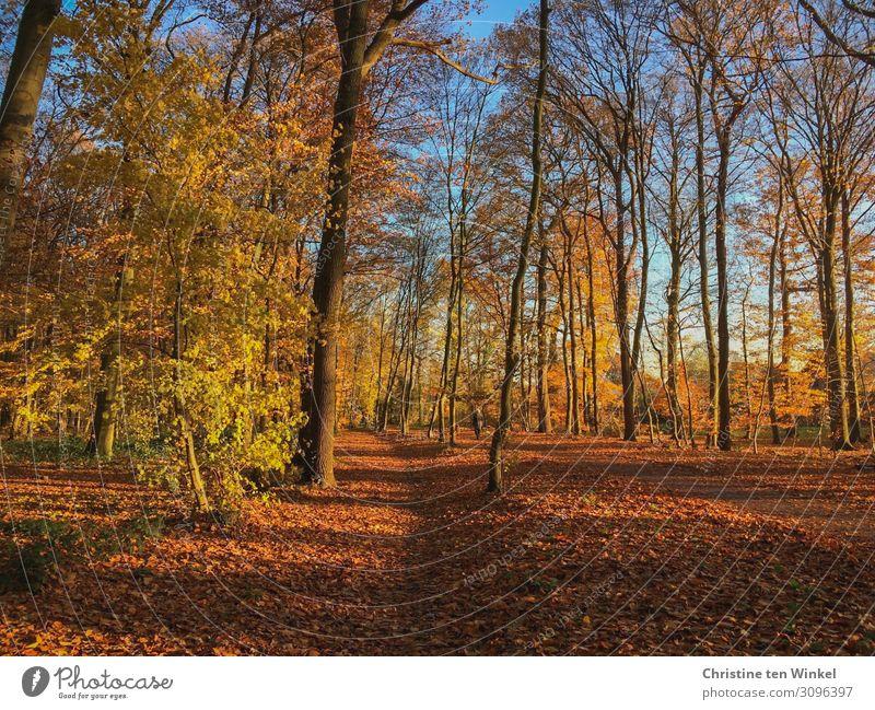 Sonniger Herbstwald Natur Landschaft Erde Sonnenlicht Schönes Wetter Pflanze Baum Wald Freundlichkeit natürlich schön blau braun mehrfarbig gelb orange Gefühle