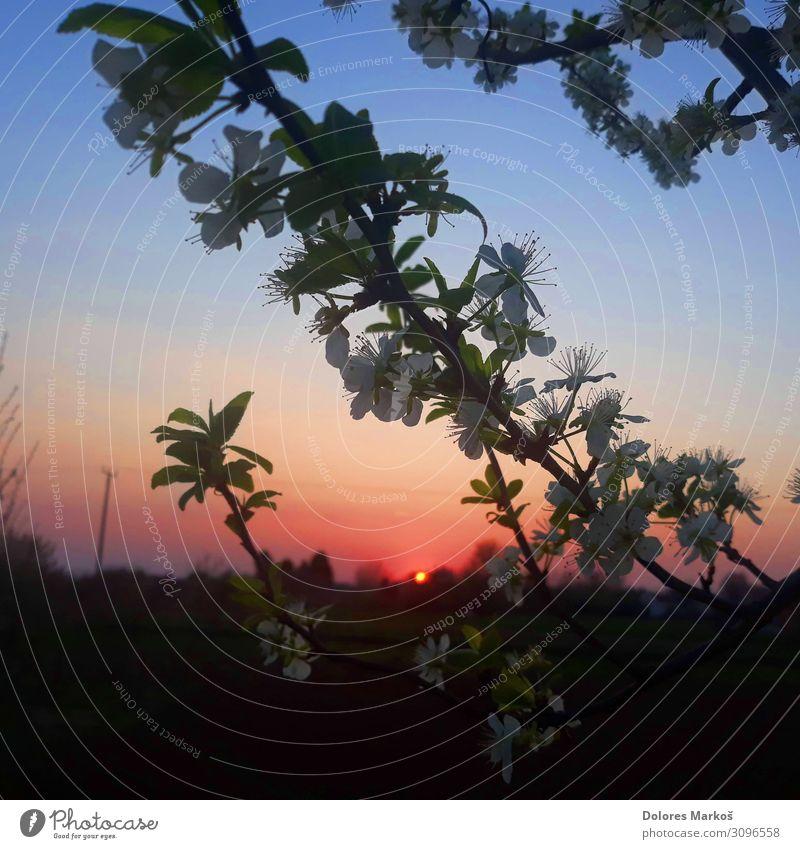 Hinterleuchtete Kirschblüten Umwelt Natur Landschaft Pflanze Urelemente Erde Himmel Sonne Sonnenaufgang Sonnenuntergang Sonnenlicht Sommer Baum Blume Blatt
