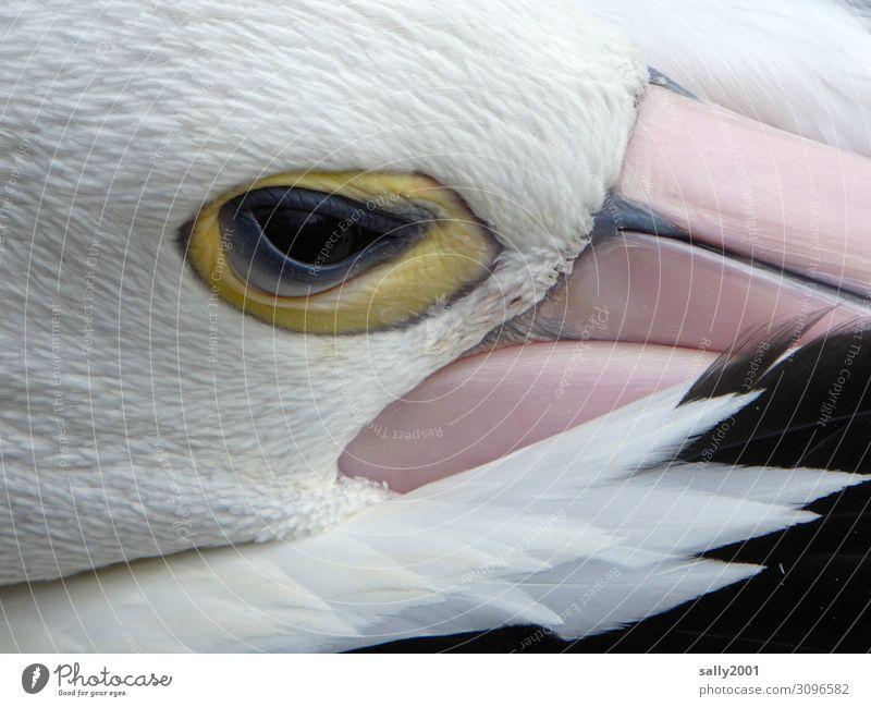 ein Auge riskieren... Tier Wildtier Vogel Tiergesicht Pelikan Brillenpelikan Schnabel Feder 1 beobachten liegen Blick schlafen ästhetisch exotisch Neugier schön