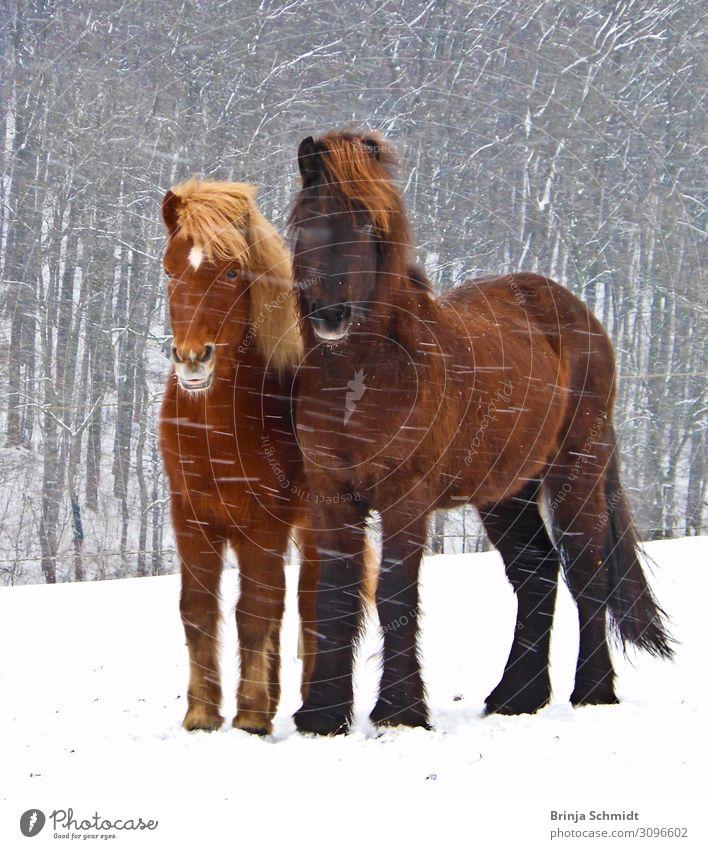 Zwei Islandpferde trotzen dem Schneesturm eng beieinander Reiten Winter Unwetter Sturm Eis Frost Schneefall Wald Haustier Pferd 2 Tier berühren frieren Blick