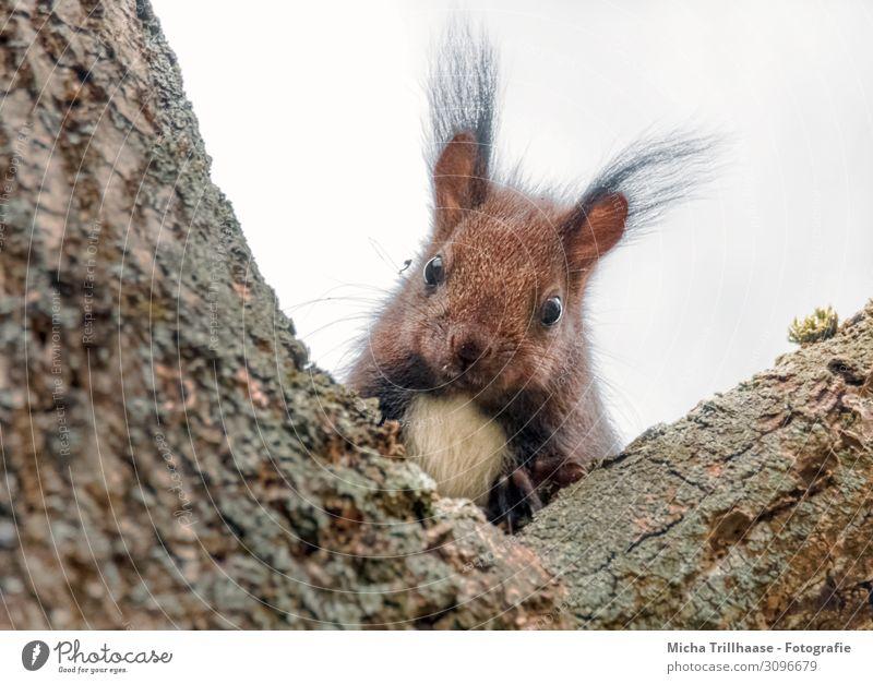Neugierig schauendes Eichhörnchen Natur Tier Himmel Sonnenlicht Baum Baumstamm Astgabel Wildtier Tiergesicht Fell Krallen Pfote Auge Ohr Pinselohren Nase Maul 1