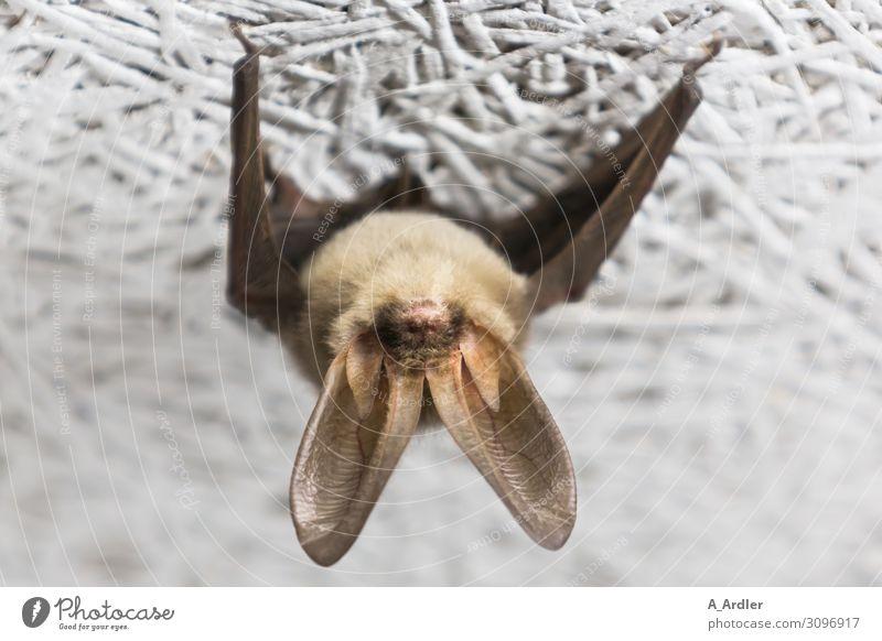 Fledermaus hängt an der Decke Tier Wildtier Fledermäuse 1 festhalten hängen außergewöhnlich exotisch gruselig hässlich klein niedlich schön wild braun weiß