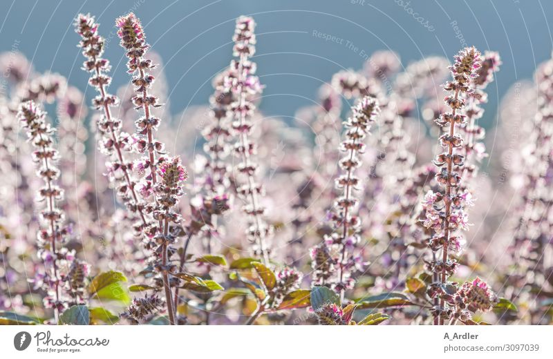 Amerikanischer Basilikum ( Ocimum americanum Lime Basil ) Kräuter & Gewürze Basilikumblatt Umwelt Natur Landschaft Pflanze Himmel Wolkenloser Himmel Sommer