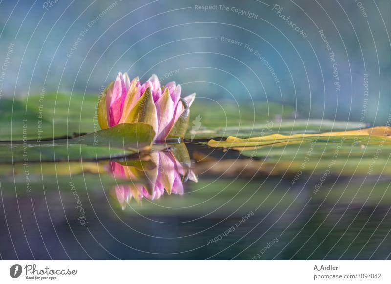 Seerose (Nymphaea) mit Spiegelung Wellness harmonisch Wohlgefühl Zufriedenheit Sinnesorgane Erholung ruhig Meditation Kur Spa Garten Pflanze Sommer Park Teich