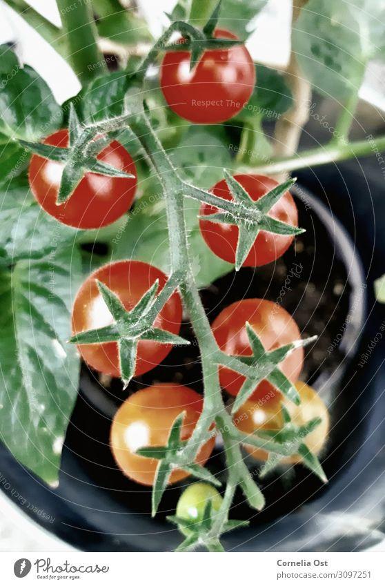 Der Reifeprozess Lebensmittel Gemüse Ernährung Essen Bioprodukte Vegetarische Ernährung Gesundheit Gesunde Ernährung Natur Pflanze Wachstum saftig rot Farbfoto