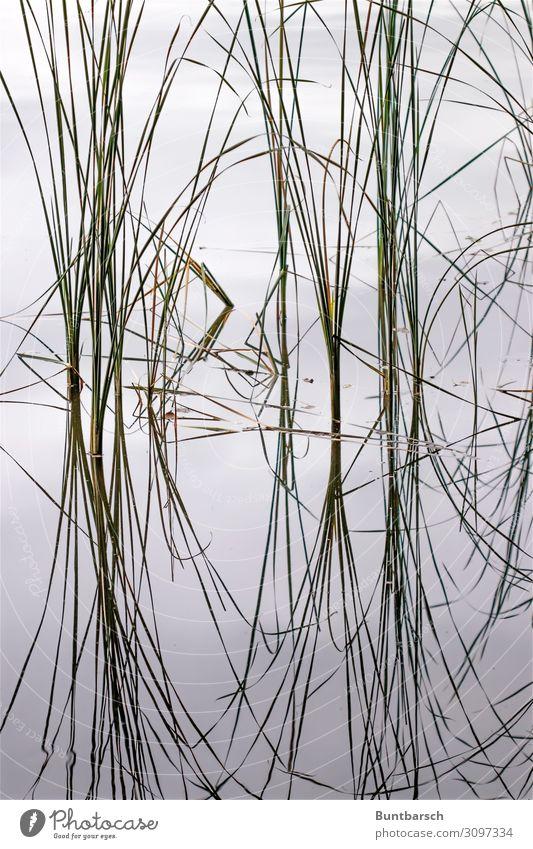 Chi Umwelt Natur Pflanze Urelemente Wasser Gras Blatt Schilfrohr See Spiegel Schriftzeichen Linie ästhetisch Zufriedenheit Symmetrie Gedeckte Farben