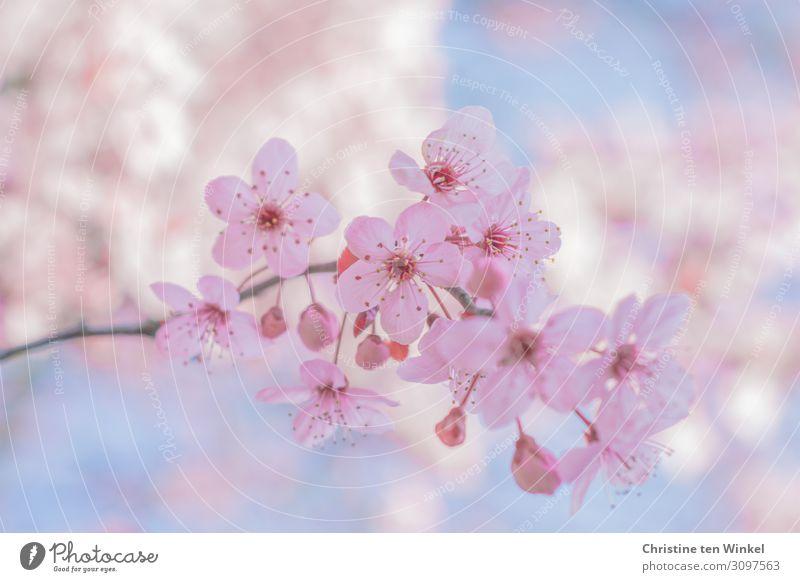 rosa blühender Zweig einer Blutpflaume vor blauem Himmel und weiteren unscharfen Blütenzweigen Natur Pflanze Frühling Baum Prunus cerasifera ästhetisch