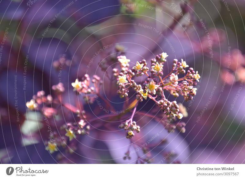 Blüte des roten Perückenstrauches mit violettem Hintergrund Natur Pflanze Frühling Sträucher Blatt Zierpflanze Cotynus ästhetisch außergewöhnlich schön