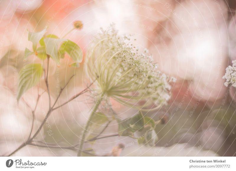 Blüte der Wilden Möhre vor rosa Hintergrund Umwelt Natur Pflanze Sommer Blume Blatt Wildpflanze Hartriegel Wilde Möhre Doldenblüte Stengel außergewöhnlich