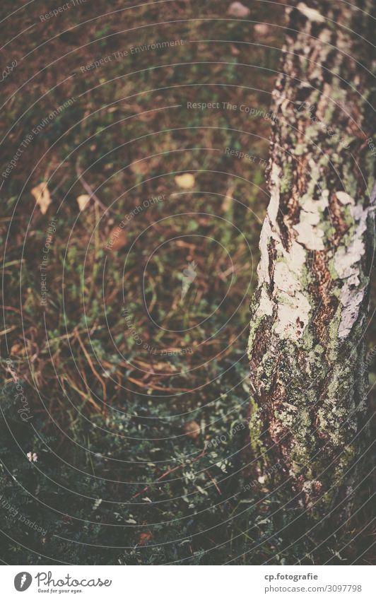 Nordischer Sommer Natur Pflanze weiß Baum Herbst natürlich Gras braun Birke