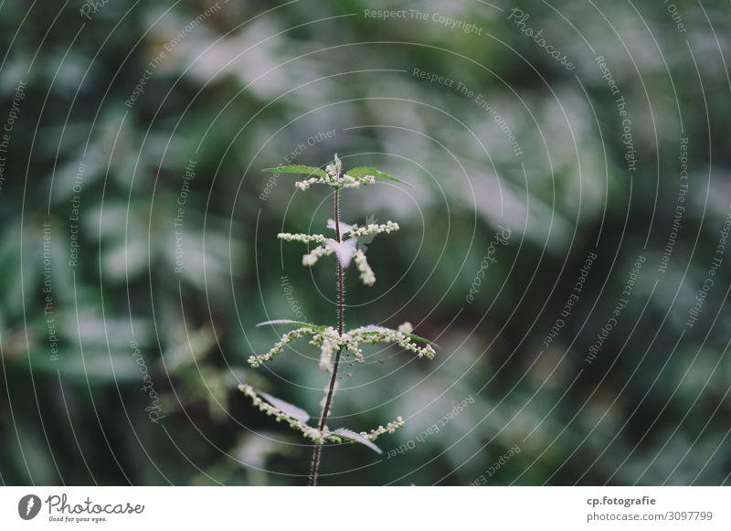Nesseln Natur Pflanze Sommer Brennnessel natürlich Einsamkeit Farbfoto Gedeckte Farben Menschenleer Tag Schwache Tiefenschärfe