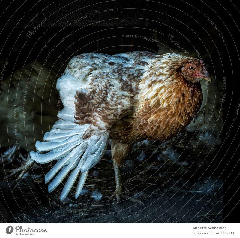 Huhn Tier Haustier Nutztier Haushuhn mehrfarbig gelb rot schwarz Farbfoto Außenaufnahme Menschenleer Low Key Tierporträt Blick nach vorn