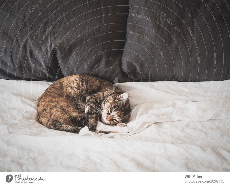 Katze schläft auf einem Bett Tier Haustier schlafen bequem Morgen Pelzmantel weiß Bettlaken heimwärts