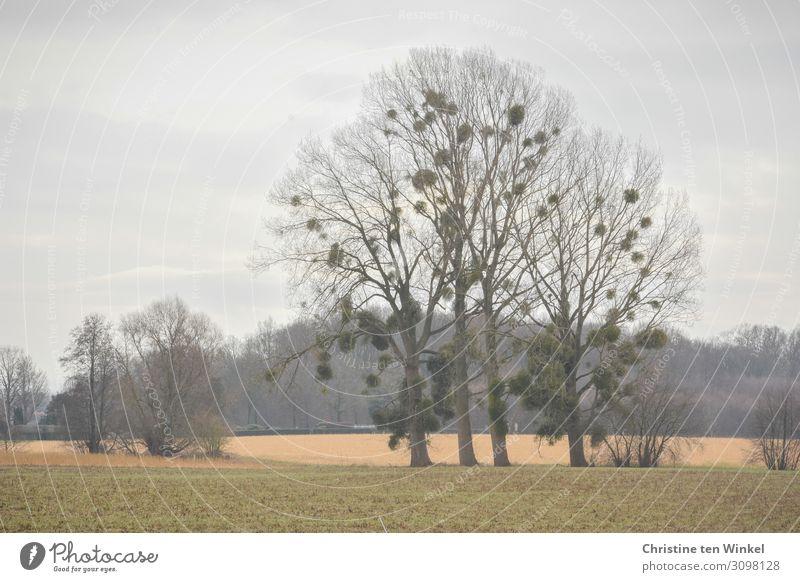 Misteln auf winterkahlen Laubbäumen Bäume kahle Bäume Winter Natur Umwelt Herbst Einsamkeit Landschaft Pflanze
